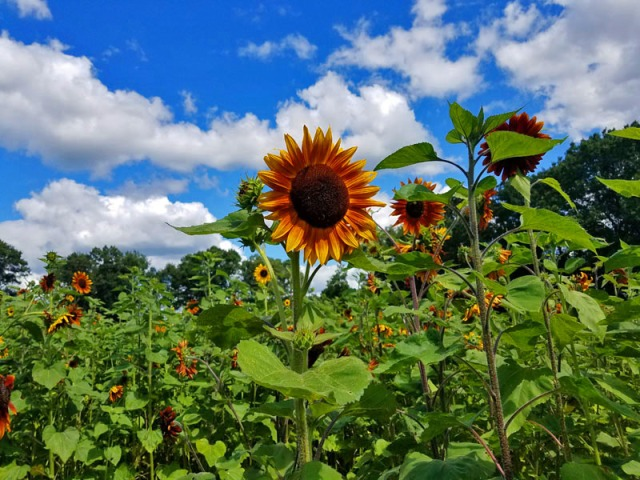 Orange sunflowers in Michigan