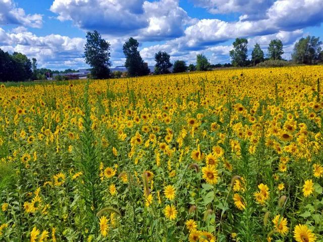 yellow sunflower field