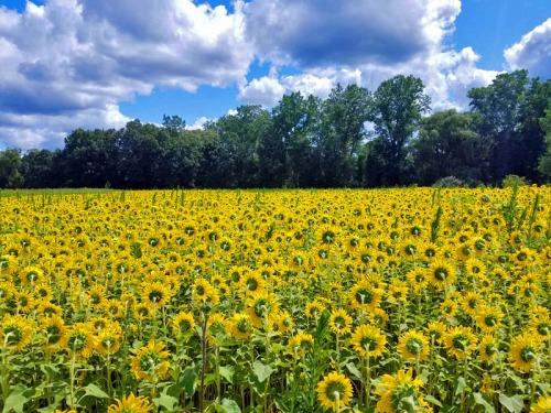 Michigan sunflowers at Shrill Family Farm