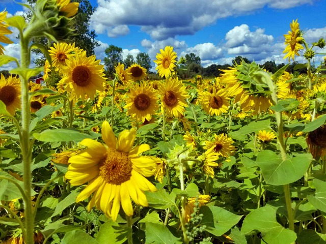 Michigan sunflowers at Shrill Family Farm